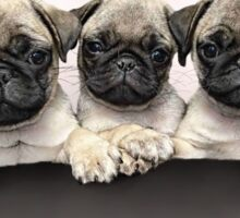 3 Of The Cutest Pug Puppies Sticker