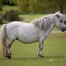 Miniature Horse. by Dave Hare