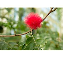 Bottle Brush Burst Photographic Print