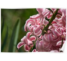 Pink and White Hyacinth Macro Poster