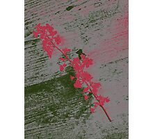 Pink Cherry Blossom  Photographic Print