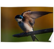 Tree Swallow #2  Poster