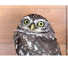 The Little owl - NZ Photographic Print