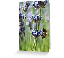 Bee on lavender flowers. Snowflake, Arizona, USA. Greeting Card