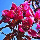 Flowering Crab Apple by kindangel