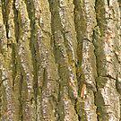 Cottonwood Tree Bark Texture by Bo Insogna