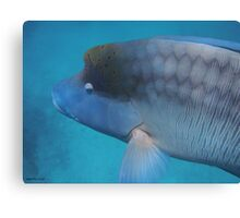 Humphead Wrasse - Limited Edition Print 1/10 Canvas Print