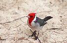 Cardinal on the beach by zumi