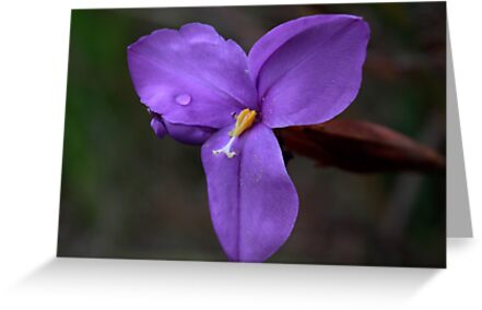 Purple Flag (Patersonia Occidentalis) by Elaine Teague