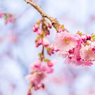 Cherry Blossom by Stevie B