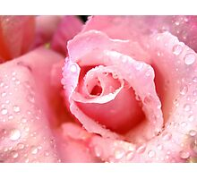 Pink Rose of Love Photographic Print