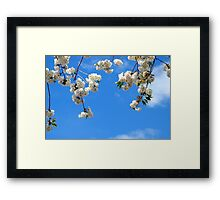 white cherry blossoms in the blue sky Framed Print