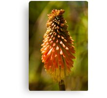 0251 Kniphofia - Red Hot Poker Canvas Print