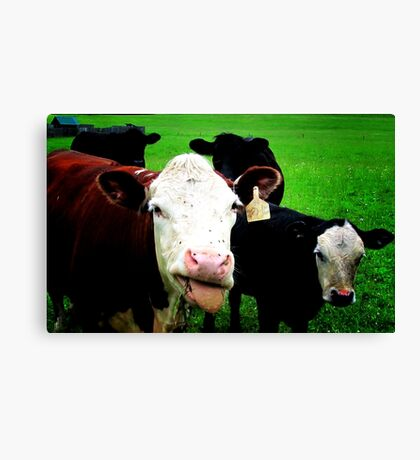 Funny - silly cows (2014) Canvas Print