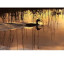 Great Crested Grebe in Silhouette Photographic Print