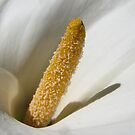 Arum Lily  Stamen  - Macro by DPalmer