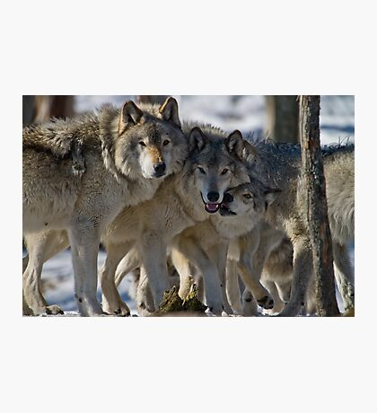 Wolf Pack Photographic Print
