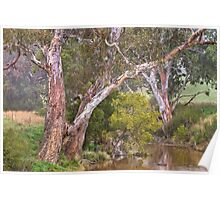 Painted Rivergums Poster