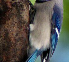 Blue Jay - Bird Lover Sticker