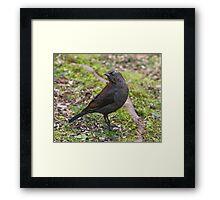 Rusty Blackbird Framed Print