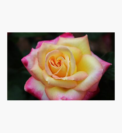 One Colorful Rose Photographic Print