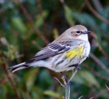 Yellow Rump Warbler Sticker