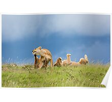 Playful Lions - Africa Poster