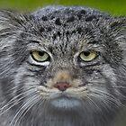 ...careful .. a wild cat... by John44
