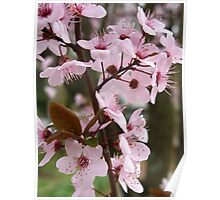 Cherry Plum Blossoms Poster