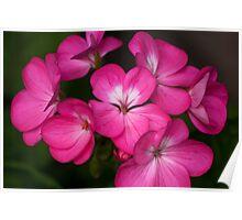 Pink Geranium Flowers  Poster
