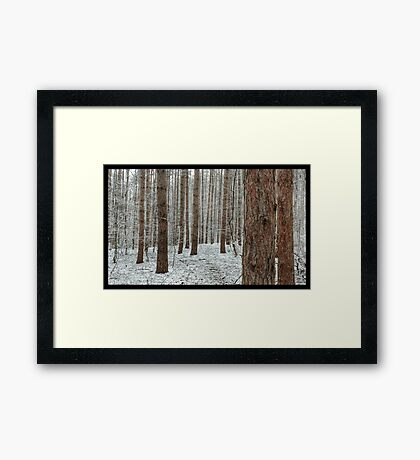April snowstorm on pines Framed Print