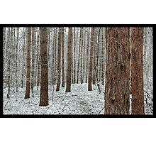 April snowstorm on pines Photographic Print