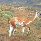Guanaco in Torres del Paine by Graeme  Hyde