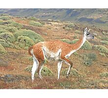 Guanaco in Torres del Paine Photographic Print
