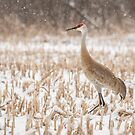 Sandhill Crane 2016-1 by Thomas Young