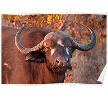Buffalo at sunrise, Kruger National Park, South Africa Poster
