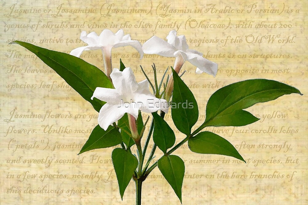 Jasminum polyanthum by John Edwards