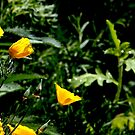 California Poppies in Full Spring Bloom by Buckwhite