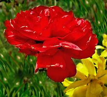 Red tulip similar to a rose by kindangel