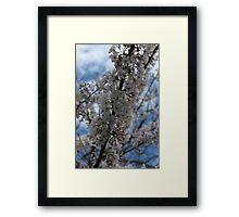 Cherry Blossom III Framed Print