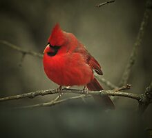 Cardinal 2016 by PicsbyJody