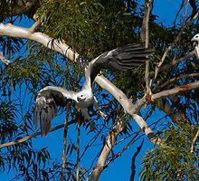 Sea-eagle Pair by byronbackyard