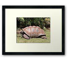 Tortoise 1 Framed Print