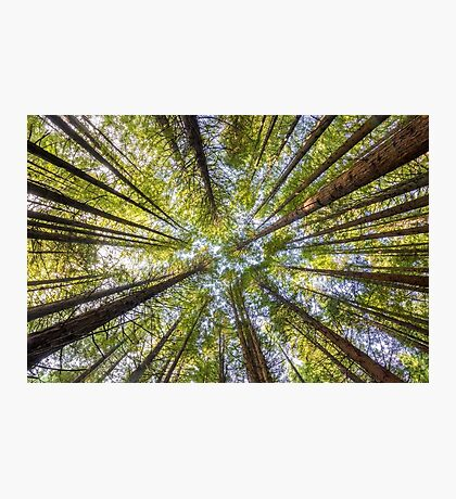 Redwood Heaven Photographic Print
