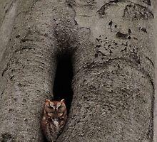 Eastern Screech Owl by elasita