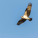 Osprey 2016-2 by Thomas Young