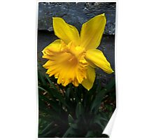 Flowers - first daffodil, open (2016) Poster