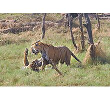 Bengal Tigers Sparring In A Marsh Photographic Print