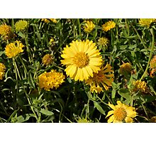 Yellow flowers in the grass. Photographic Print