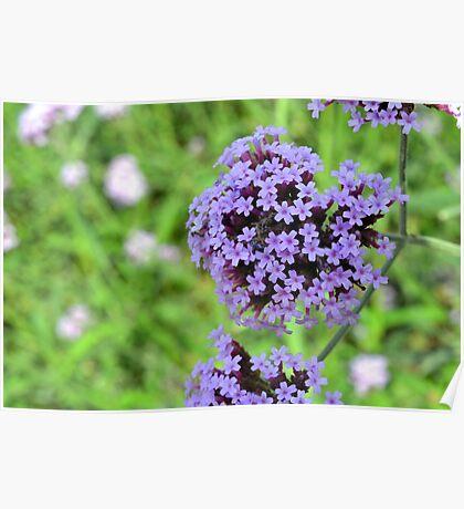 Macro on purple spring flowers. Poster